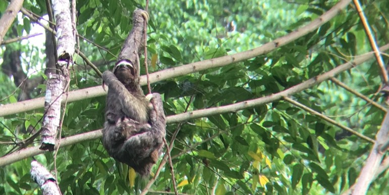 Sloth with baby in garden 1